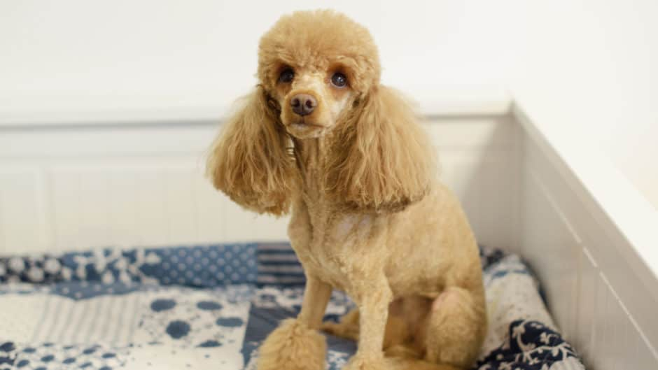 best shampoo for poodles